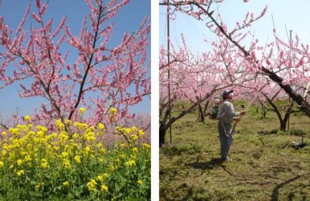 加納岩の桃の木