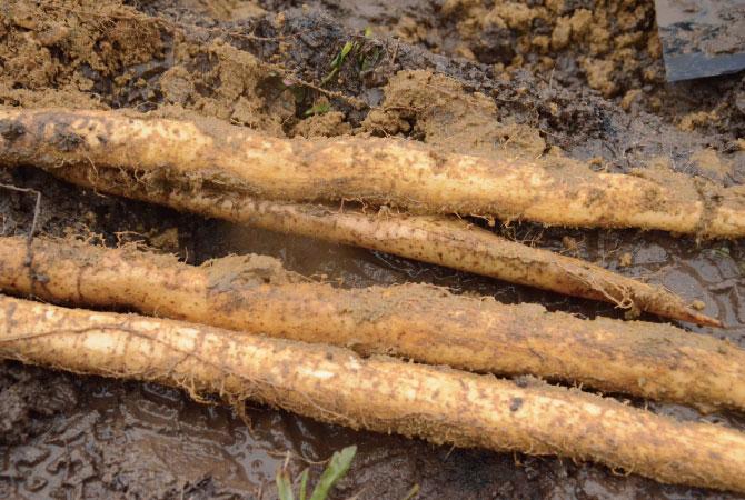 山形県 自然薯