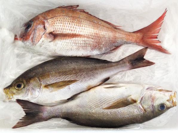 天然鯛 イサキ