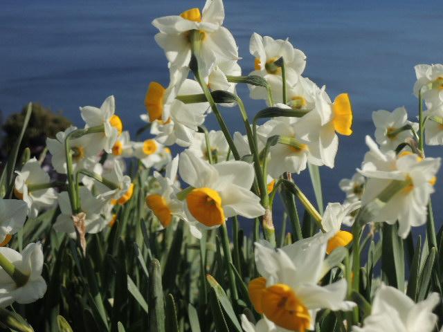 こんな急斜面なのに、水仙は可憐、かつ、たくましく咲き誇ってます